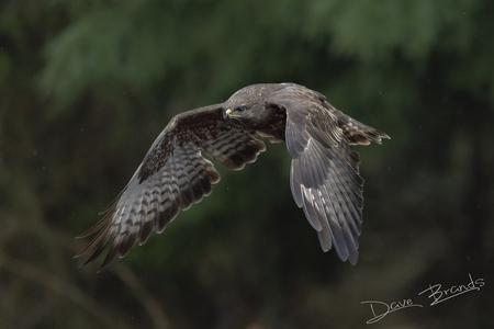 Op de wieken - Buizerd in volle vlucht op een donkere ochtend in de bossen - foto door daveenrenee op 16-04-2021 - locatie: Noord-Brabant, Nederland - deze foto bevat: buizerd, bos, bossen, vliegend, vogel, natuur, vogel, accipitridae, fabriek, falconiformes, bek, roofvogel, accipitriformes, veer, staart, valk