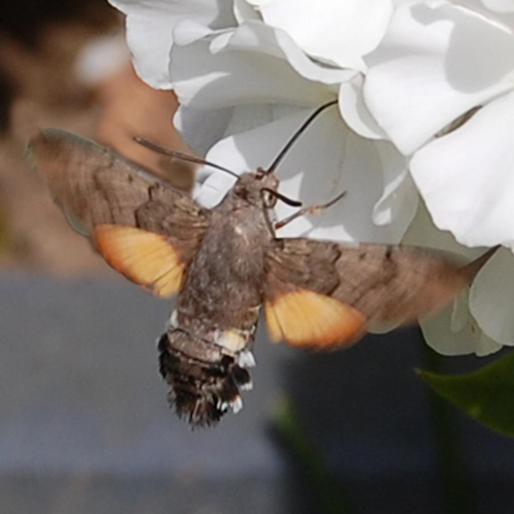 Kolibrievlinder - Omdat te verwachten was, dat bij dichtbij benaderen de kolibrie weg zou fladderen is de opname op afstand gemaakt.  Ruis kan dus mogelijk zijn.  Opna - foto door g.w.broens op 16-04-2021 - locatie: Dordrecht, Nederland - deze foto bevat: bloem, bestuiver, fabriek, insect, geleedpotigen, vlinder, motten en vlinders, vleugel, plaag, bloemblaadje