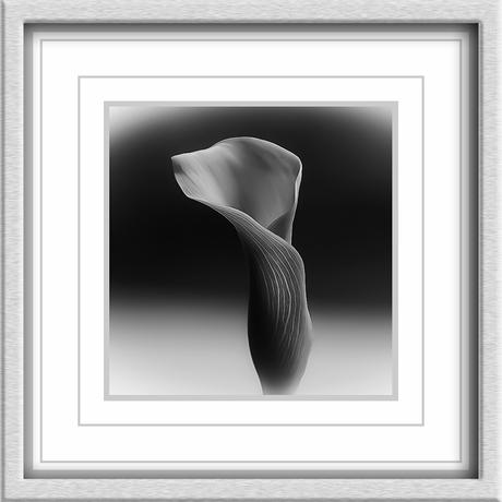 Calla, in zwart wit