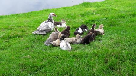groot gezin - de Kaapse eend of muskus eend genaamd, een mooie om te zien. 1 van de weinige die elk jaar een nest heeft en wij het pas ontdekken wanneer je allemaa - foto door RolandvanTol op 07-04-2021 - locatie: Burgemeester Bruins Slotsingel 11, 2403 NC Alphen aan den Rijn, Nederland - deze foto bevat: eend, kaapse eend, gezin, vogel, fabriek, bek, eenden, ganzen en zwanen, gras, watervogels, bodembedekker, vee, grasland, gevogelte