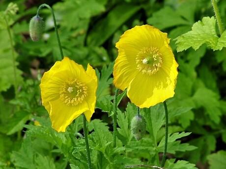gele tweeling