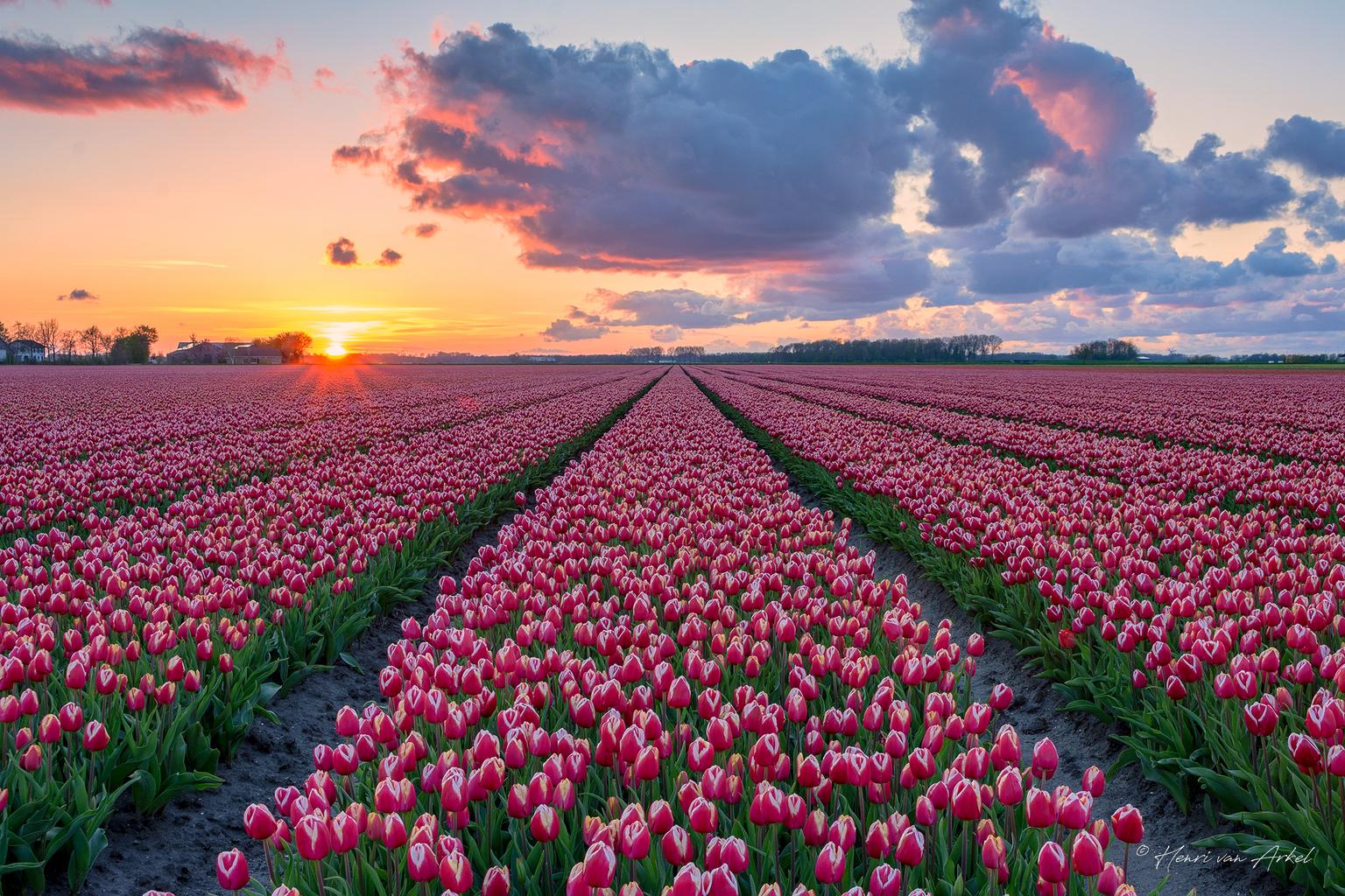 Tulpenveld Zonsondergang - Zonsondergang bij een tulpenveld in Dronten. De lucht kleurde mooi mee met prachtige wolken over het veld. (02-05-2021)  2 stops Grijsverloop medium  - foto door henrivanarkel op 03-05-2021 - deze foto bevat: tulpen, zonsondergang, landschap, wolken, grijsverloopfilter, lucht, wolk, bloem, fabriek, dag, ecoregio, mensen in de natuur, natuurlijk landschap, natuur, bloemblaadje