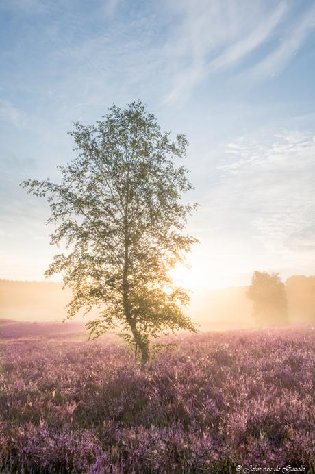 Berkenboom op de bloeiende heide tijdens de zonsopkomst