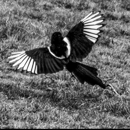 Ekster - Ekster vliegt laag over het gras voor mijn camera langs. - foto door Erikvdzwan op 11-04-2021 - locatie: 8181 Heerde, Nederland - deze foto bevat: vogel, bek, veer, zwart en wit, stijl, gras, vleugel, fabriek, staart, monochrome fotografie