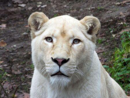 Witte leeuwin - DSCF8028.jpg - foto door Esmay1 op 23-11-2013 - deze foto bevat: lion, dierentuin, rhenen, zoo, ouwehands dierenpark, Witte leeuw