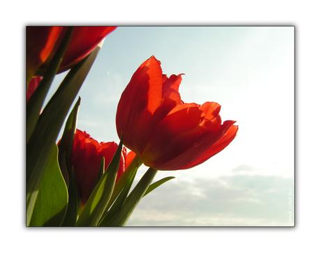 Tulpje 2...