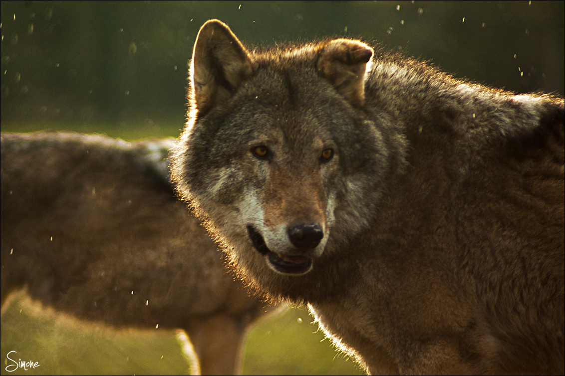 Wolf - Wolf in de sneeuw - foto door frostwood op 10-02-2013 - deze foto bevat: wolf, sneeuw, dieren