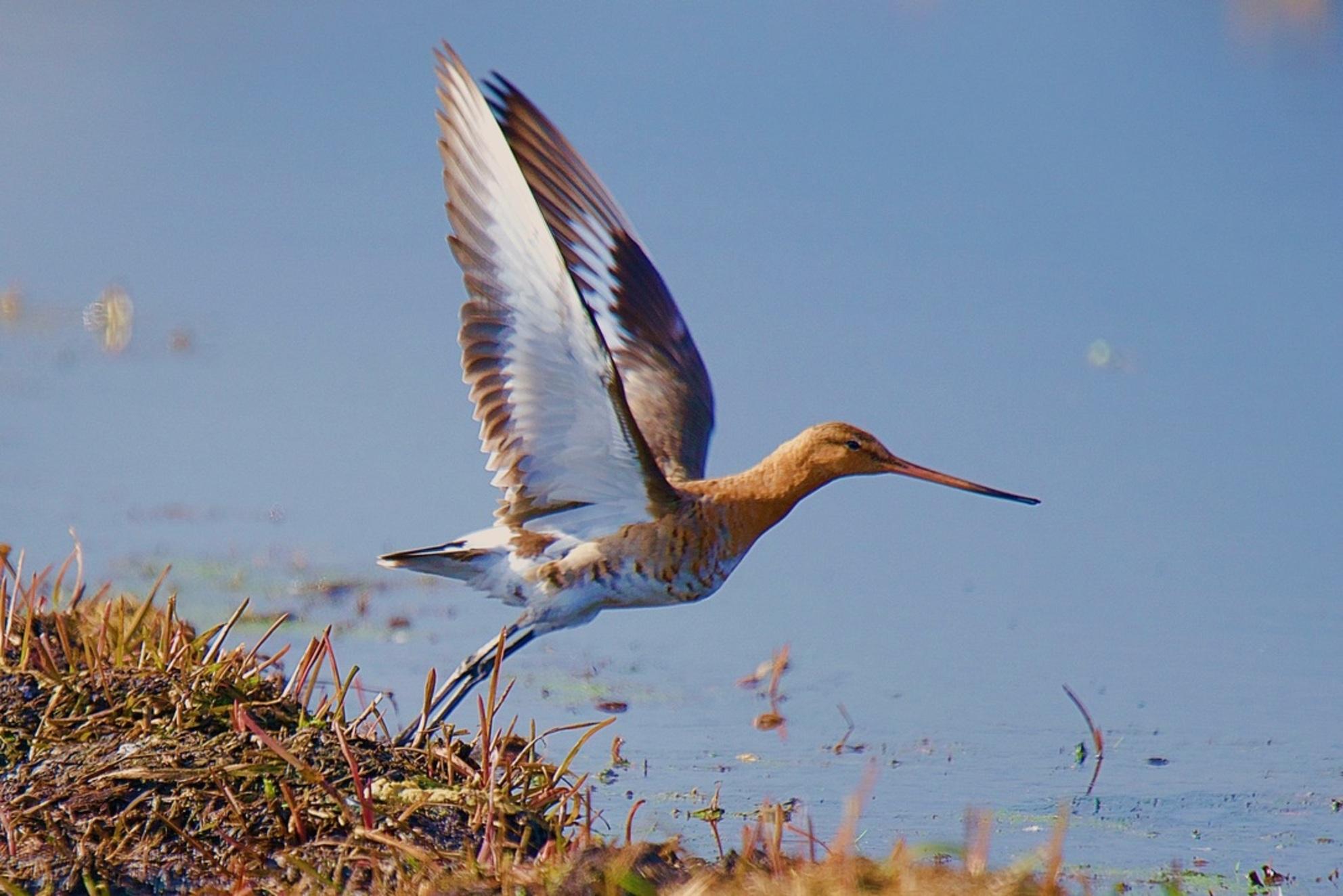 Here we go - Grutto - foto door Time-traveler op 07-03-2021 - deze foto bevat: water, lente, natuur, vogel, voorjaar, nederland, wildlife - Deze foto mag gebruikt worden in een Zoom.nl publicatie
