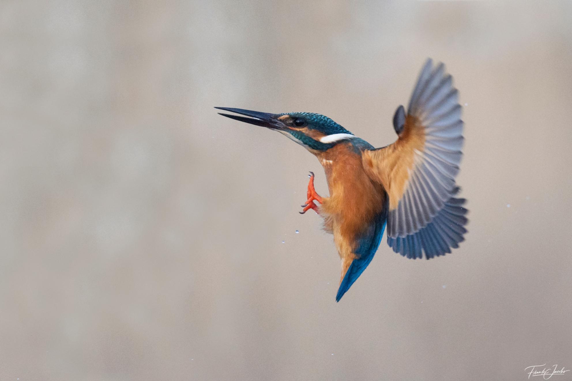 Landing - - - foto door frankjacobs op 06-03-2021 - deze foto bevat: kleur, blauw, water, natuur, oranje, vogel, watervogel, nikon, actie, wildlife, ijsvogel, beweging, frank jacobs, frankjacobs, nikon d5