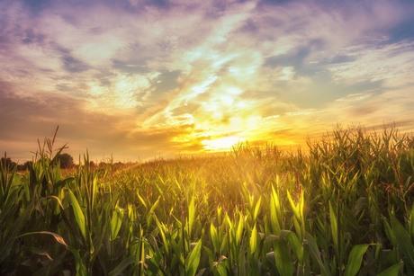 Light on the cornfield