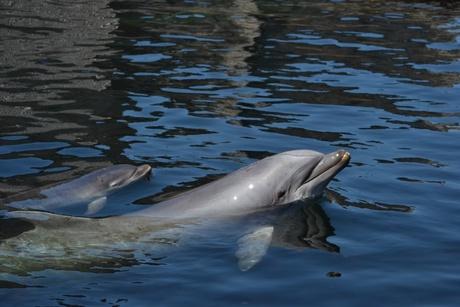 Dolfijn met jong