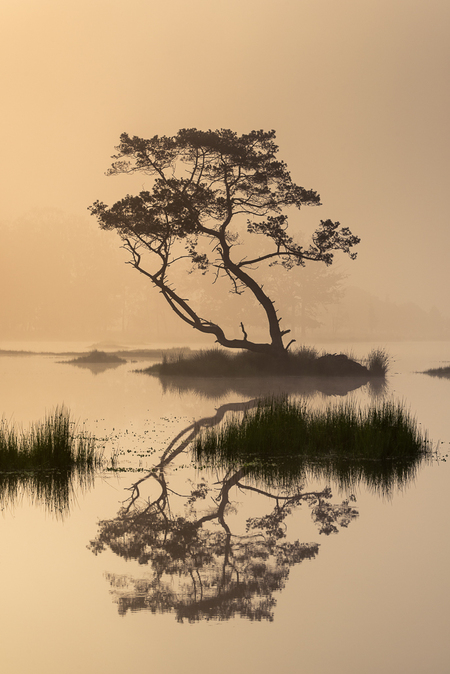 Strabrechtse Heide 332 - Dit is de boom die ik het meest gefotografeerd heb vorig jaar en ik denk dat dit mijn favoriete foto daarvan is. De mist en zachte licht maakten het  - foto door Deshamer op 31-03-2017 - deze foto bevat: lucht, water, lente, natuur, licht, ochtend, spiegeling, landschap, heide, bos, tegenlicht, zonsopkomst, zomer, bomen, meer, ven, zen, grafven, Strabrechtse heide, japanse prent