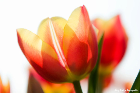 Tulpen in de Polder 04