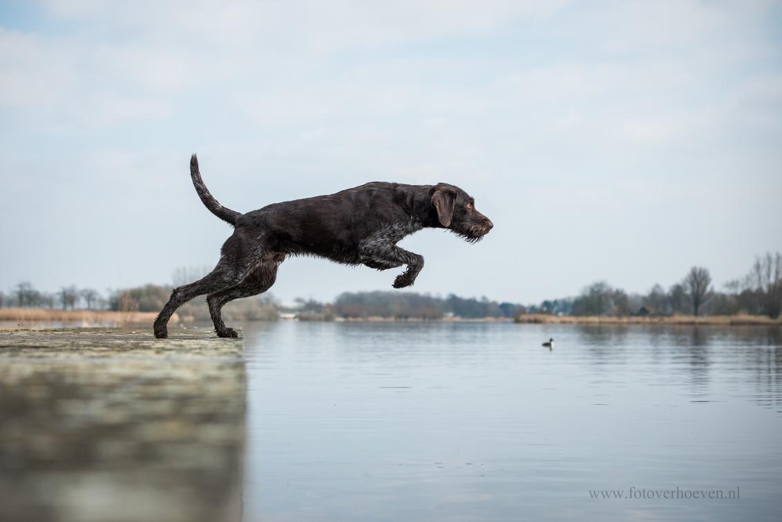 Hunter - Duitse staande draadhaar Hunter springt van een steiger om een dummy op te halen. - foto door HannahV op 25-03-2018 - deze foto bevat: lucht, water, natuur, dieren, huisdier, hond, sprong
