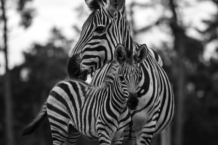 Zebra Zwart Wit - Moeder en Veulen. - foto door Donne op 28-10-2020 - deze foto bevat: zebra, dierentuin
