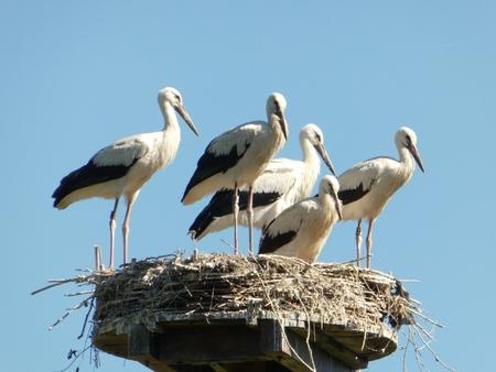 de laatste... - ... dag dat ze op het nest waren, de vijf jonge ooievaars en ja ze zijn wat overbelicht hier en daar, maar het licht was erg fel.  ik denk voorlop - foto door zimmo op 02-08-2018 - deze foto bevat: vogel, ooievaars, jong, zimmo