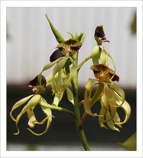 Spinorchidee