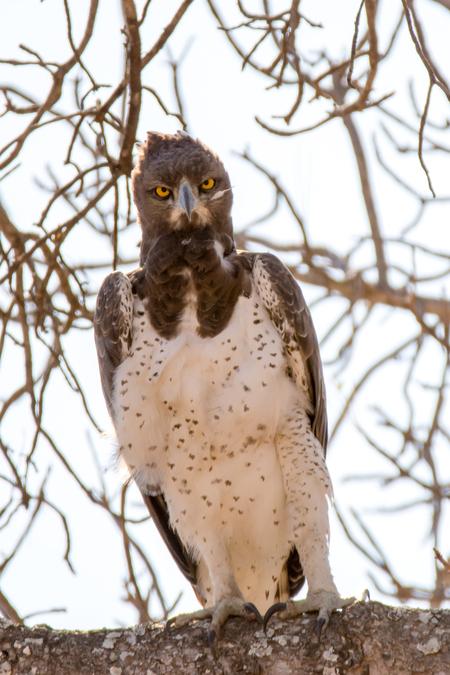 The stare - Prachtige roofvogel gespot tijdens de safari in Zuid Afrika - foto door markesch op 11-12-2016 - deze foto bevat: natuur, dieren, safari, vogel, nikon, roofvogel, afrika, wildlife, sigma, zuid afrika, 2016, ktuger park