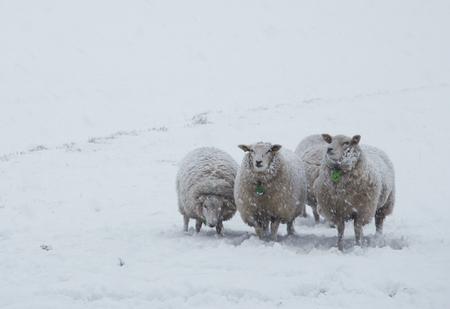 Winter - Schapen in een felle sneeuwbui in hartje winter. groeten, Bert - foto door b.neeleman op 18-01-2015