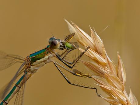 Juffer eet vlieg