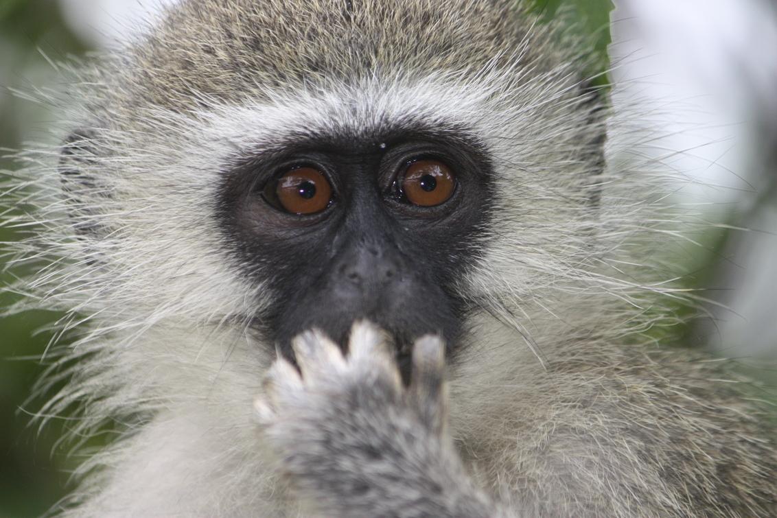 Vervet monkey - - - foto door Monique84 op 12-07-2018 - deze foto bevat: aap, afrika, wildlife