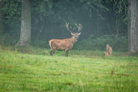 Edelhert bok op de uitkijk in het bos