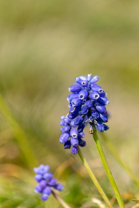 Blauw druifje in de berm