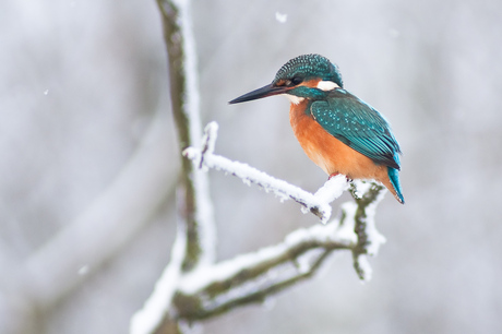 Ijsvogel in de sneeuw