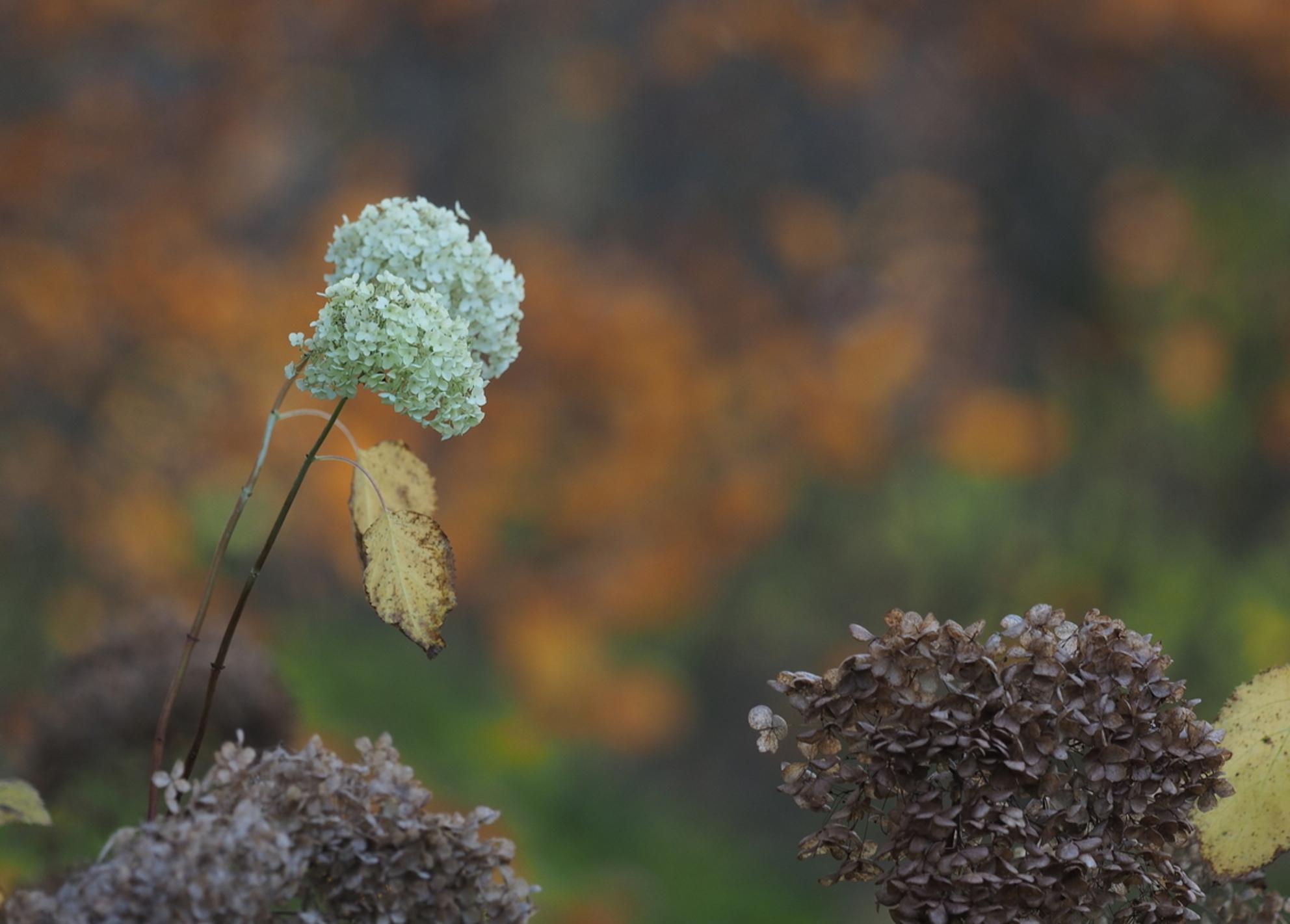 De Laatste..... - In het Wit... - foto door pietsnoeier op 26-11-2016 - deze foto bevat: kleur, wit, bloem, natuur, herfst, tuin, dof, Anabel