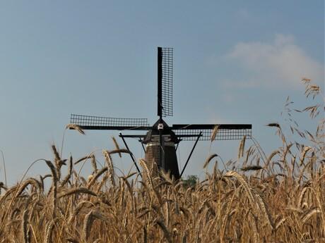 De graan is rijp , het maaien kan beginnen.