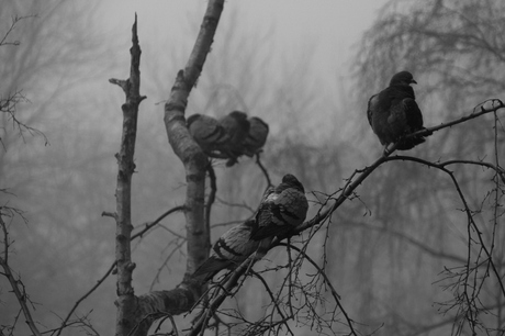 duiven in de mist