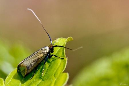 glanzend motje - Nog een keer dame smaragd langsprietmot. - foto door studioesther op 25-04-2012 - deze foto bevat: mot, nachtvlinder, insect, langsprietmot