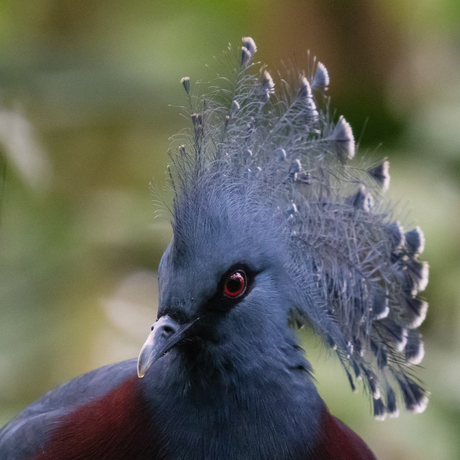 Koninklijke duif?