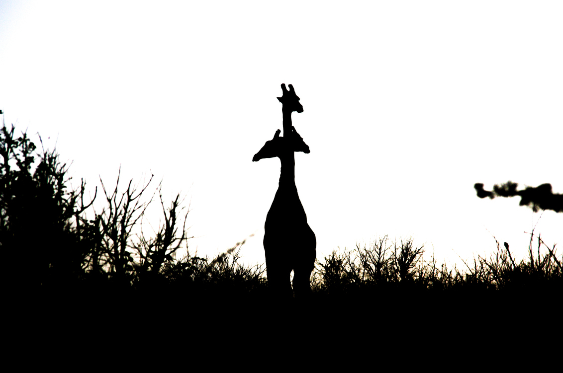 Drie-koppige giraffe - - - foto door davidvandermeer7 op 10-12-2016 - deze foto bevat: natuur, dieren, safari, giraffe, afrika, contrast