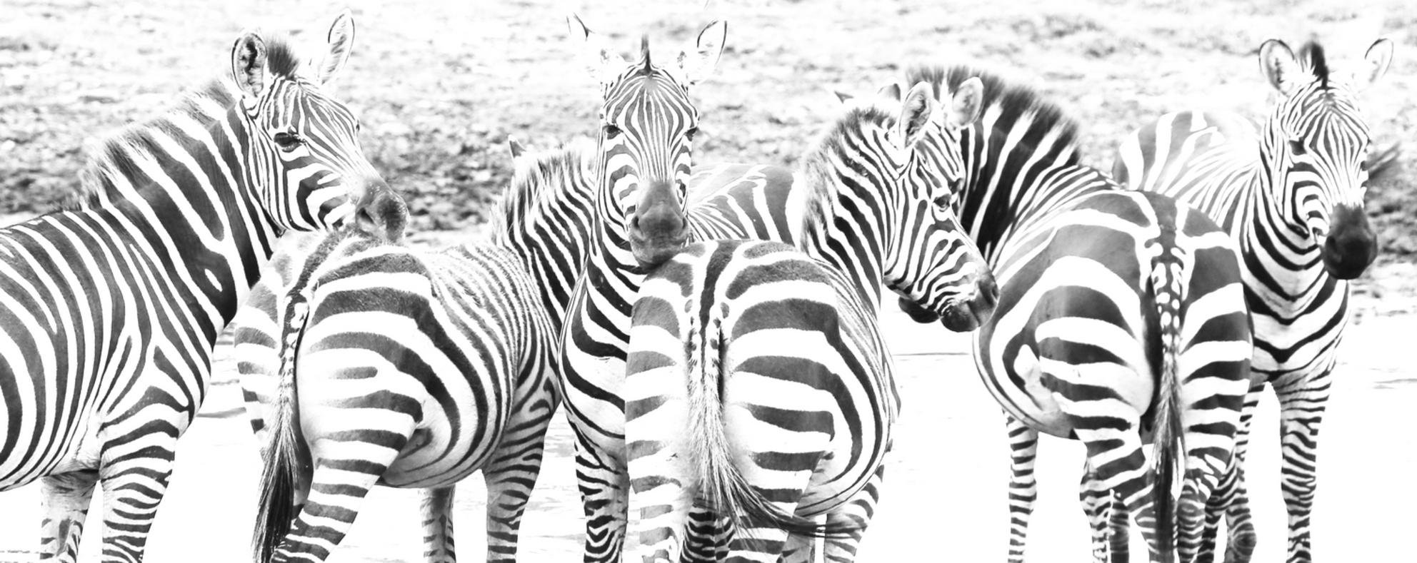 Striped - Zebra's - foto door aambrouwer op 20-08-2013 - Deze foto mag gebruikt worden in een Zoom.nl publicatie