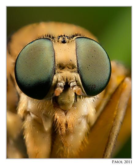 My Eyes ! - Als het lukt om een insect heel dicht te naderen dan..................  gr Peter www.petermol.nl - foto door petermol_zoom op 17-12-2011 - deze foto bevat: macro, eye, micro, petermol