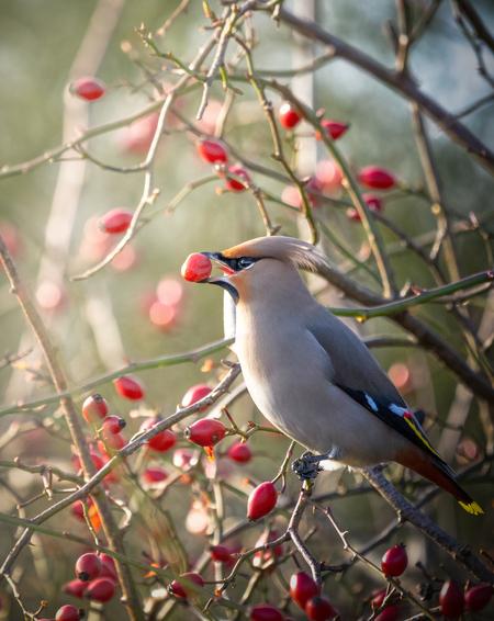 Pestvogel in de zonneschijn - - - foto door Hendrik1986 op 19-01-2021 - deze foto bevat: natuur, vogel, wildlife