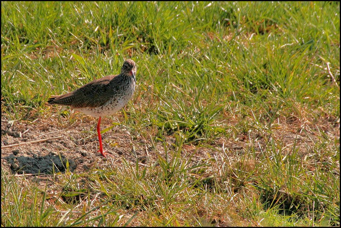 Tureluur - Bij de  Grutto waren ook Tureluurs - foto door Teunis Haveman op 18-04-2020 - deze foto bevat: dieren, vogel, voorjaar