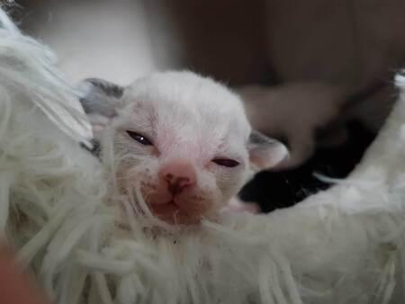 Harley devon rex kitten - Harley devon rex kitten, hier 1 week oud - foto door schaiky op 26-12-2020 - deze foto bevat: kitten, poes, dieren, huisdier, kat, Devon Rex