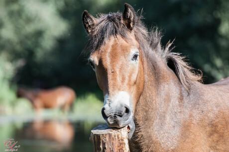 wild paard