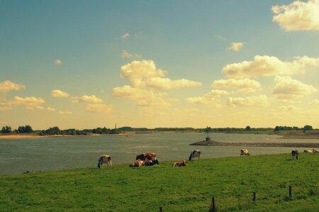 Kribben. - Koeien langs de Waal. - foto door edu-1 op 13-09-2015 - deze foto bevat: lucht, water, landschap, rivier