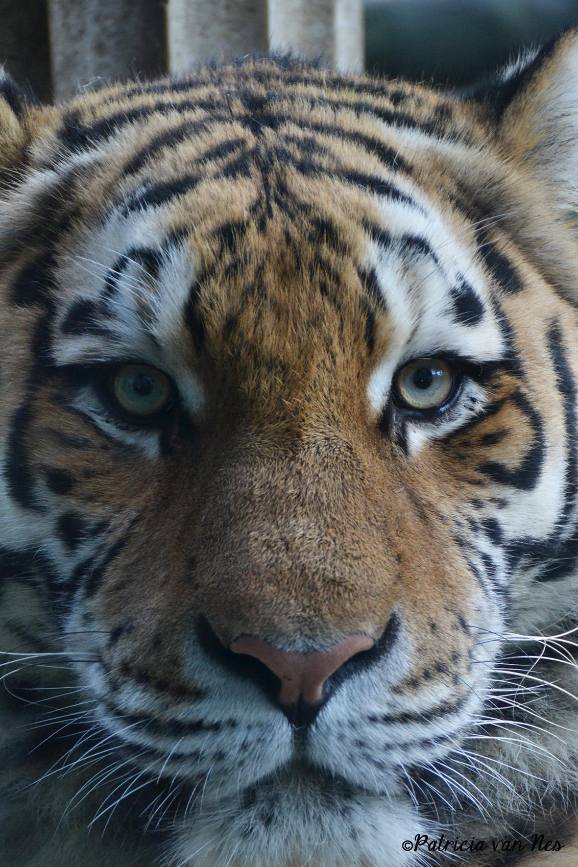 The eye of the tiger... - Deze foto heb ik genomen in dierenpark amersfoort, met het geluk dat de tijger precies voor het raam lag. - foto door PatriciaVNes op 09-01-2013 - deze foto bevat: dierentuin, ogen, tijger