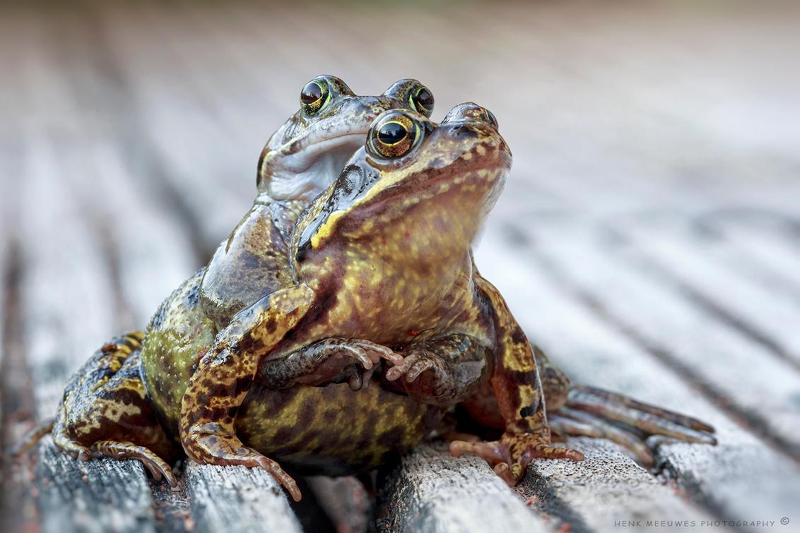 Hold on tight - Als ik dan zo op mijn vlonder lig om de kikkerdrukte in de vijver vast te leggen komen ze af toe ook nieuwsgierig kijken wat ik aan het doen ben.  I - foto door h.meeuwes op 21-04-2018 - deze foto bevat: macro, kikker, lente, natuur, bruin, tuin, vijver, twee, stel, duo, dof, vasthouden, henk meeuwes