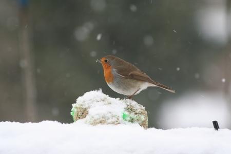 Roodborstje - Een roodborstje in de tuin - foto door erwinkooijman op 26-01-2013 - deze foto bevat: roodborstje, winter, vogel, leerdam