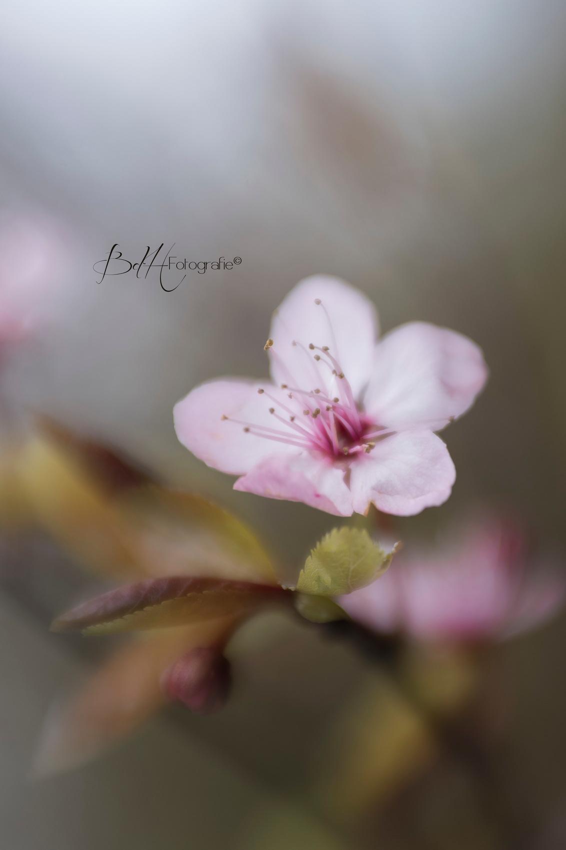 Painted - Hoewel ik dit lensje niet heel vaak gebruik ben ik toch blij verrast met het resultaat. Ik ga haar vaker op mijn camera zetten. Beloofd! Houden jull - foto door BiancadH op 07-04-2020 - deze foto bevat: roze, macro, bloem, lente, natuur, bruin, licht, tuin, wind, voorjaar, bloesem, lensbaby, scherptediepte, dof, statief, bokeh, velvet56