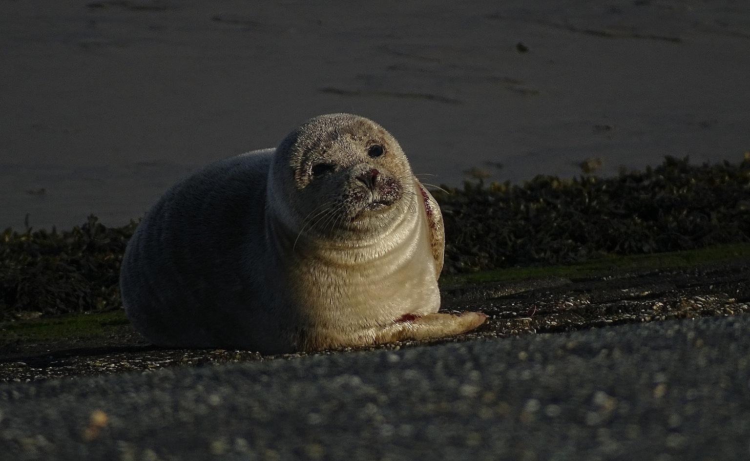 Aangespoeld - Gisteravond kwam ik deze zeehondje tegen. Lag te wachten op vloed, dan gaat hij wel weer de zee in. - foto door jan.pijper op 12-04-2021 - locatie: 9909 Spijk, Nederland - deze foto bevat: carnivoor, lichaam van water, earless zegel, terrestrische dieren, bakkebaarden, baltische grijze zeehond, water, zegel, snuit, strand