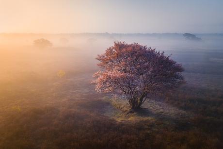 Krentenboom op de Zuiderheide