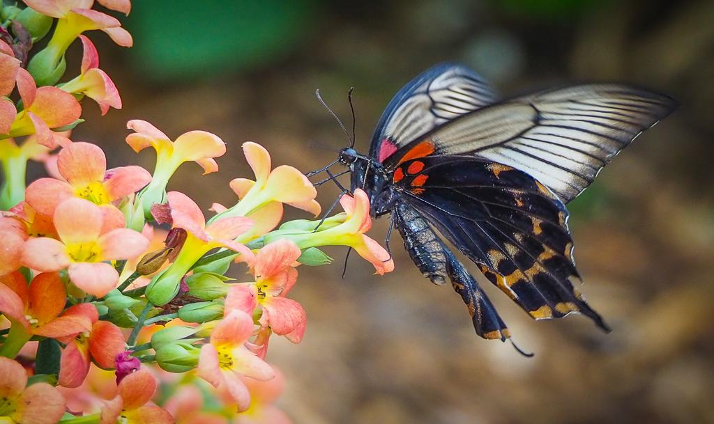 Exotische vlinder 2 - - - foto door PhotoMad op 06-03-2019 - deze foto bevat: vlinder, butterfly, exotische vlinder