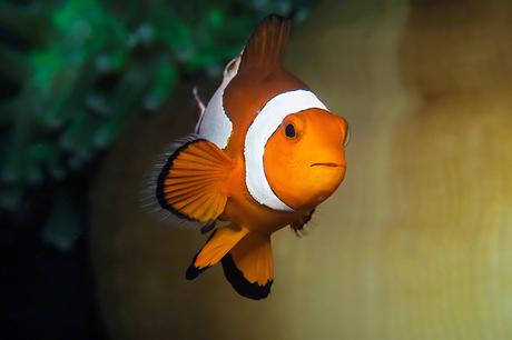 False Eastern Clown Fish