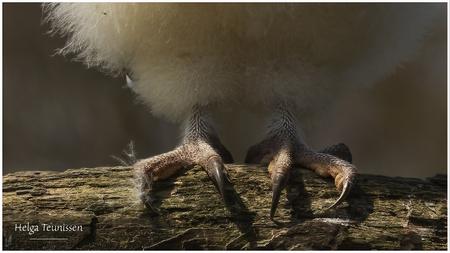 Jonge pootjes - Pootjes met nesthaar van de 6 weken oude kerkuil. - foto door helga.teunissen op 04-05-2021 - locatie: 5087 Diessen, Nederland - deze foto bevat: terrestrische dieren, geleedpotigen, hout, insect, bodem, bek, staart, macrofotografie, stillevenfotografie, dieren in het wild
